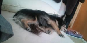 愛犬気持ちよさそうにお昼寝中(*^_^*)