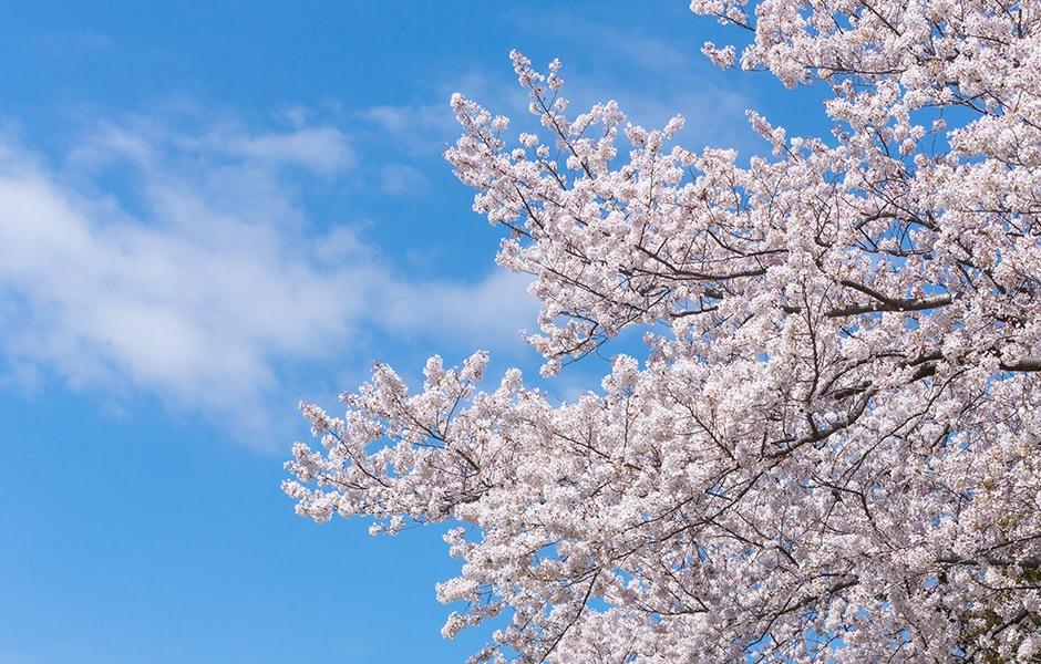 忘れもしない付き合う前の高遠の桜旅行